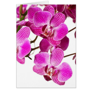 Hot Pink Dendrobium Orchid - Orchids Background Card