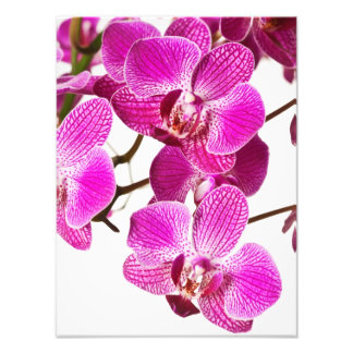 Hot Pink Dendrobium Orchid - Orchids Background Photo Print