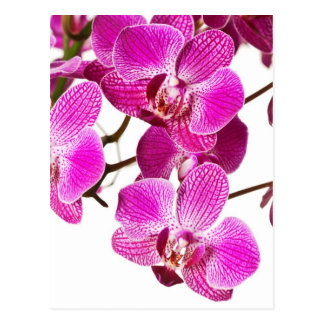 Hot Pink Dendrobium Orchid - Orchids Background Postcard