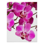 Hot Pink Dendrobium Orchid - Orchids Background Print