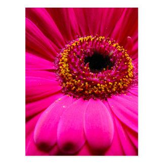 hot pink gerber daisy postcard