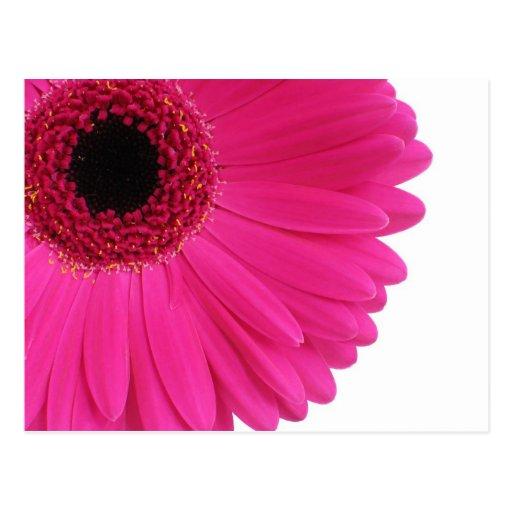 Hot Pink Gerbera Postcard