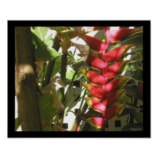 Hot Pink Heliconia Hang Out  Poster Print
