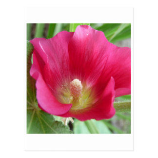 Hot Pink Hollyhock Photo Postcard