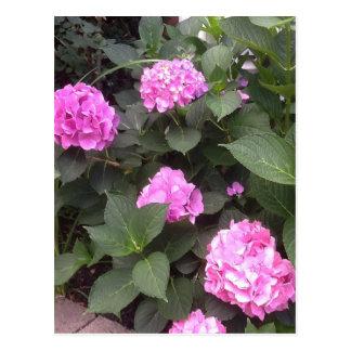 Hot Pink Hydrangea Postcard