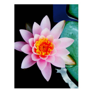 Hot Pink & orange lotus water lily flower Postcard