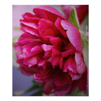 Hot Pink peony poster
