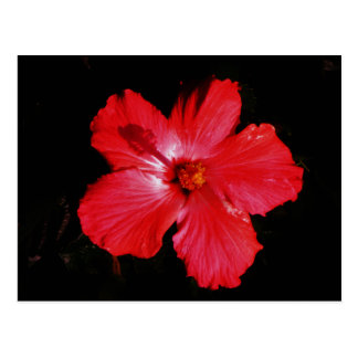 Hot Pink Red Hibiscus flower on Black Post Card
