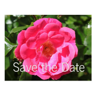 Hot pink rose flower save the date postcard. postcard