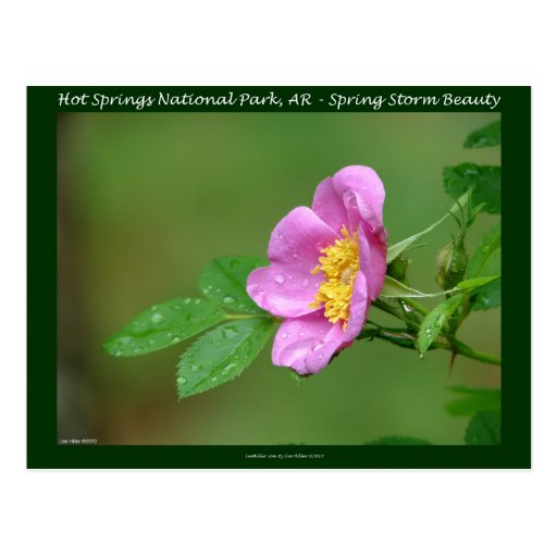Hot Springs National Park, AR  Wild Rose Gifts Postcard