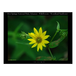 Hot Springs National Park Woodland Sunflowers Poster
