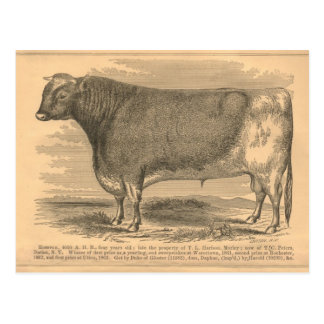 Hotspur, First Prize Bull at Utica, 1863 Postcard