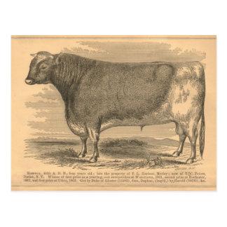 Hotspur, primer premio Bull en Utica, 1863 Postal