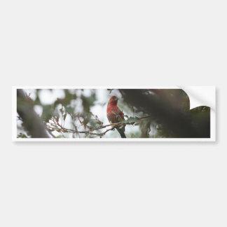 House Finch Bumper Sticker