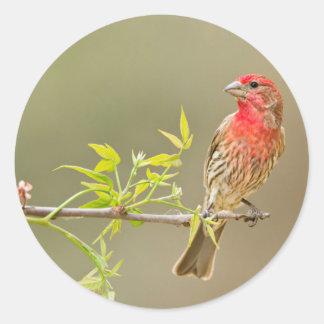 House Finch (Carpodacus Mexicanus) Male Perched Classic Round Sticker