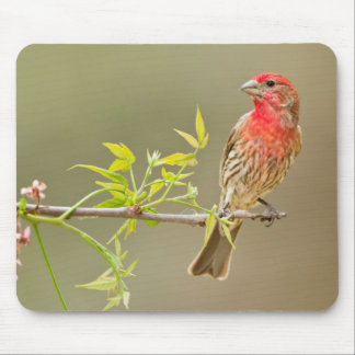 House Finch (Carpodacus Mexicanus) Male Perched Mouse Pad