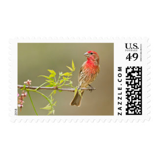 House Finch (Carpodacus Mexicanus) Male Perched Postage Stamp