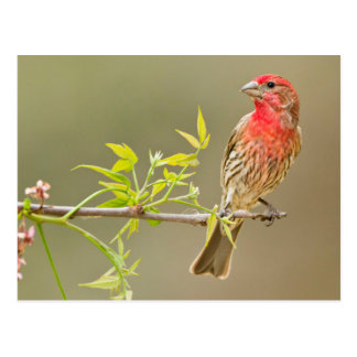 House Finch (Carpodacus Mexicanus) Male Perched Postcard