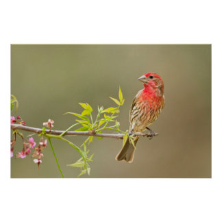 House Finch (Carpodacus Mexicanus) Male Perched Poster