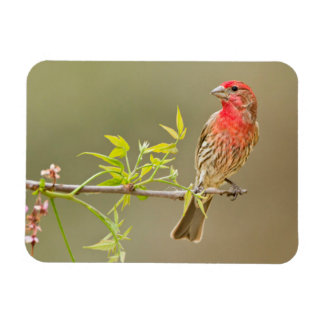 House Finch (Carpodacus Mexicanus) Male Perched Rectangle Magnet