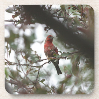 House Finch Beverage Coasters