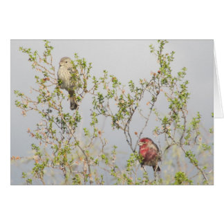 House Finch Couple Card