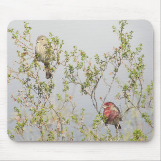 House Finch Couple Mouse Pad