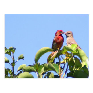 House Finch Couple Postcard
