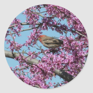 House Finch in Redbud Tree Classic Round Sticker