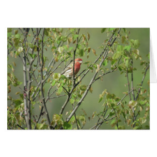 House Finch in Spring Card