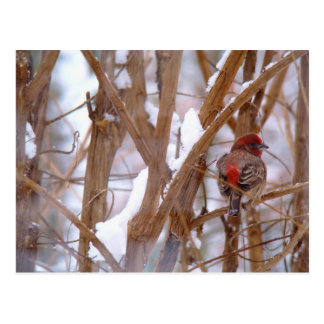 House Finch in Winter Scene Postcard