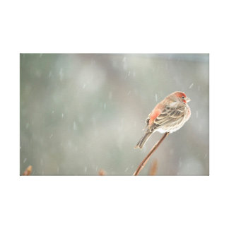 House Finch on a Branch Canvas Print