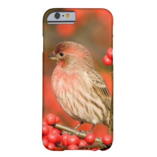 House Finch on Common Winterberry Barely There iPhone 6 Case