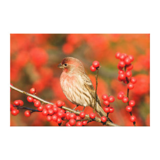 House Finch on Common Winterberry Canvas Print