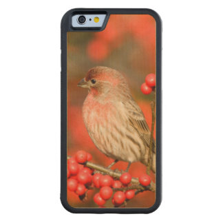 House Finch on Common Winterberry Carved® Maple iPhone 6 Bumper