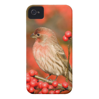 House Finch on Common Winterberry Case-Mate iPhone 4 Cases