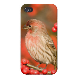 House Finch on Common Winterberry Cases For iPhone 4