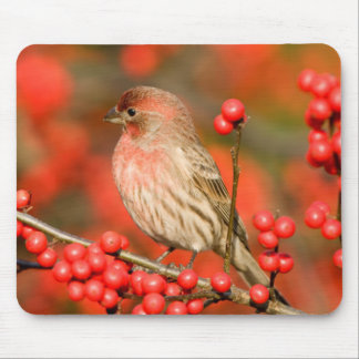 House Finch on Common Winterberry Mouse Pad