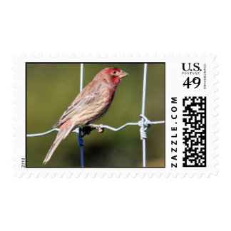 House Finch Postage Stamp