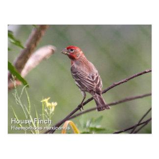 House Finch Postcard