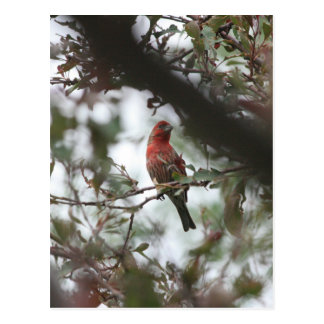 House Finch Postcard