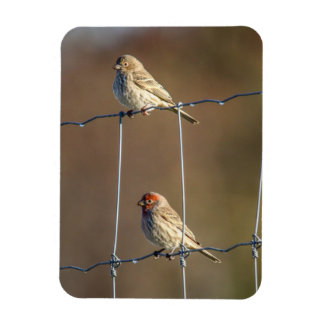 House Finches Magnet