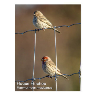 House Finches Postcard