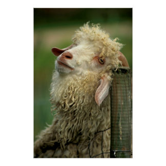 House sheep at the fence stake, close-up, print
