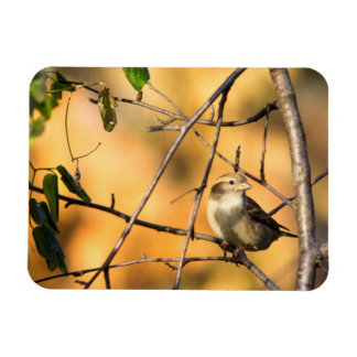 House Sparrow In Defiance, Ohio, USA Magnet