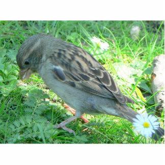 House Sparrow Photo Cut Out
