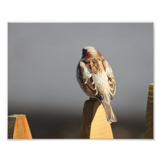House sparrow photo print