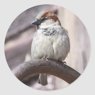 House Sparrow Round Stickers