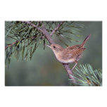 House Wren Posters