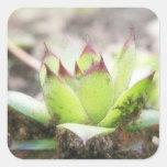 Houseleek - Sempervivum Square Sticker